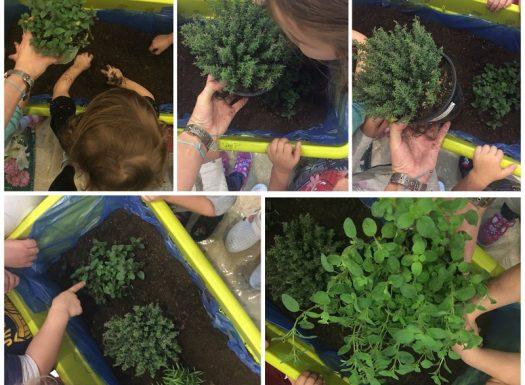 Leptirići - sadnja začinskog bilja u sobi dnevnog boravka, istraživanje zemlje i biljaka (tekstura, mirisi), razvoj empatije i brige za biljke, razvoj svih osjetila
