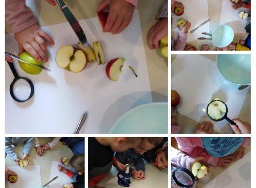 Leptirići - obilježavanje Dan jabuka, razgovor na temu, proučavanje jabuka pod povećalom i mikroskopom, poticanje na istraživanje
