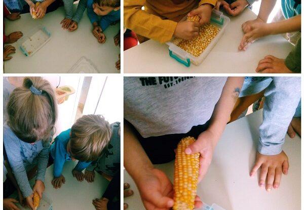 Ribice- istraživačka aktivnost skidanja kukuruza s klipa; razvoj senzomotorike i fine motorike prstiju te razvoj spoznaje o jesenskim aktivnostima
